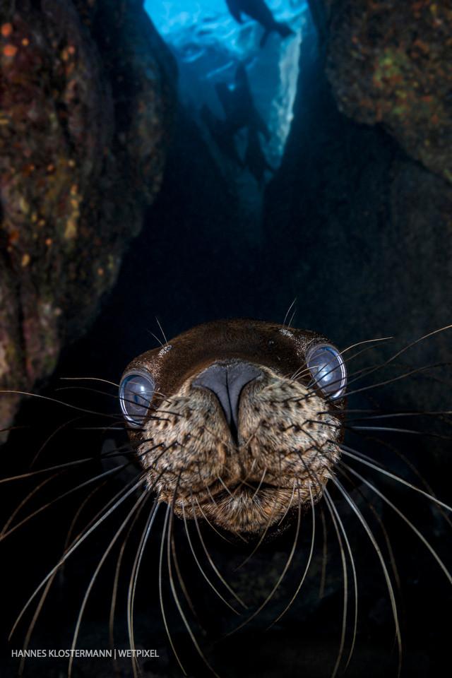 A juvenile California sea lion (*Zalophus californianus*) investigates the camera.
