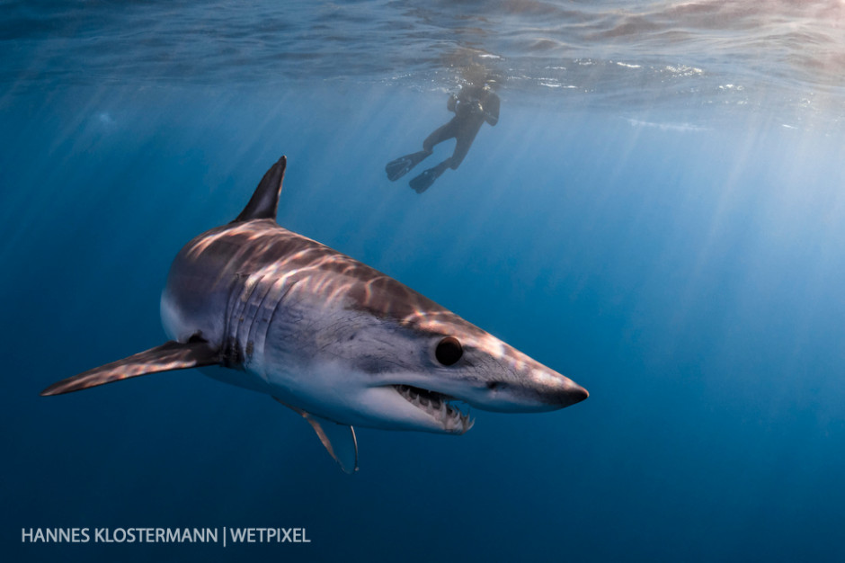 A shortfin mako shark (*Isurus oxyrinchus*) and snorkeler in the afternoon sun.