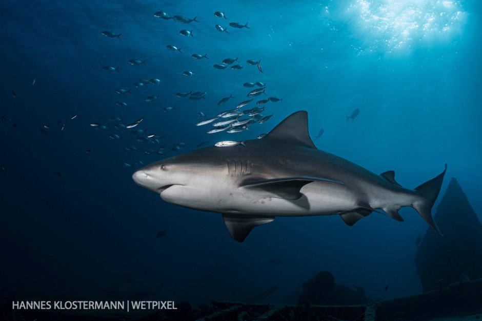 A bull shark (*Carcharhinus leucas*) cruises along a wreck in Cabo Pulmo National Park.