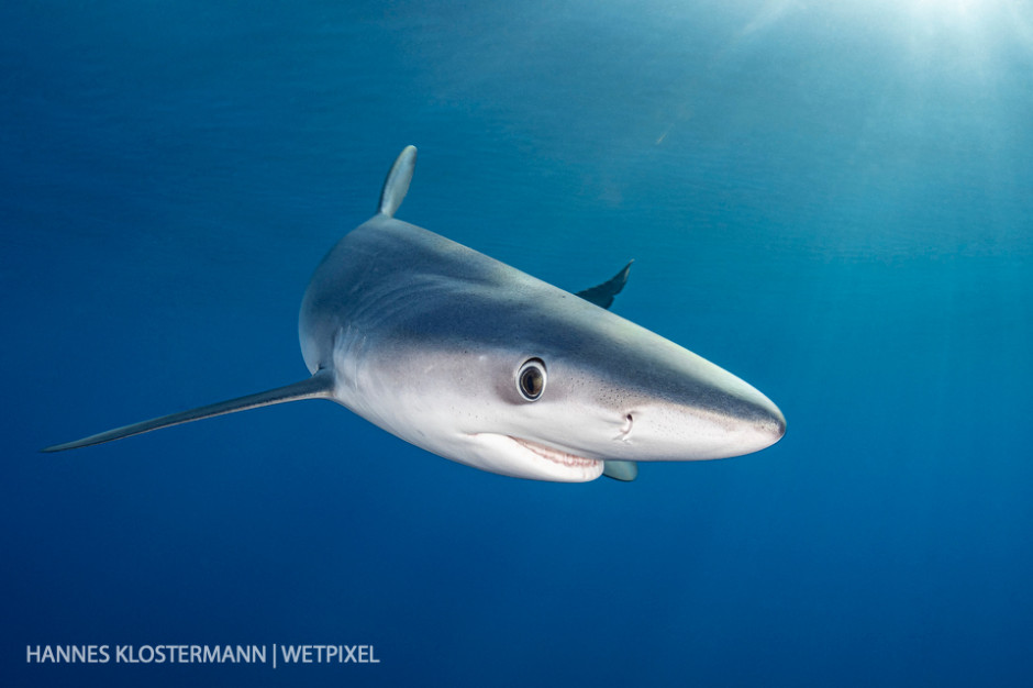 Portrait of a blue shark (*Prionace glauca*).