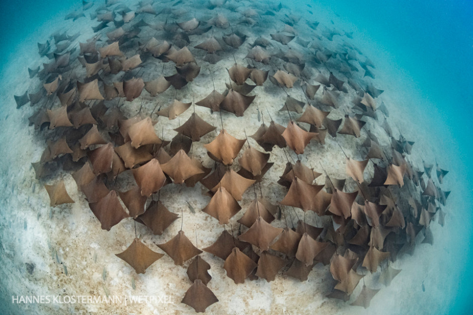 A school of golden cownose rays (*Rhinoptera steindachneri*) over the sandy bottom at Espiritu Santo Island.