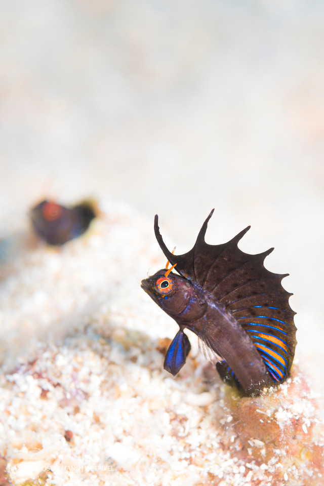 A gulf signal blenny (*Emblemaria hypacanthus*) shows off his dorsal fin in an effort to communicate with another individual.
