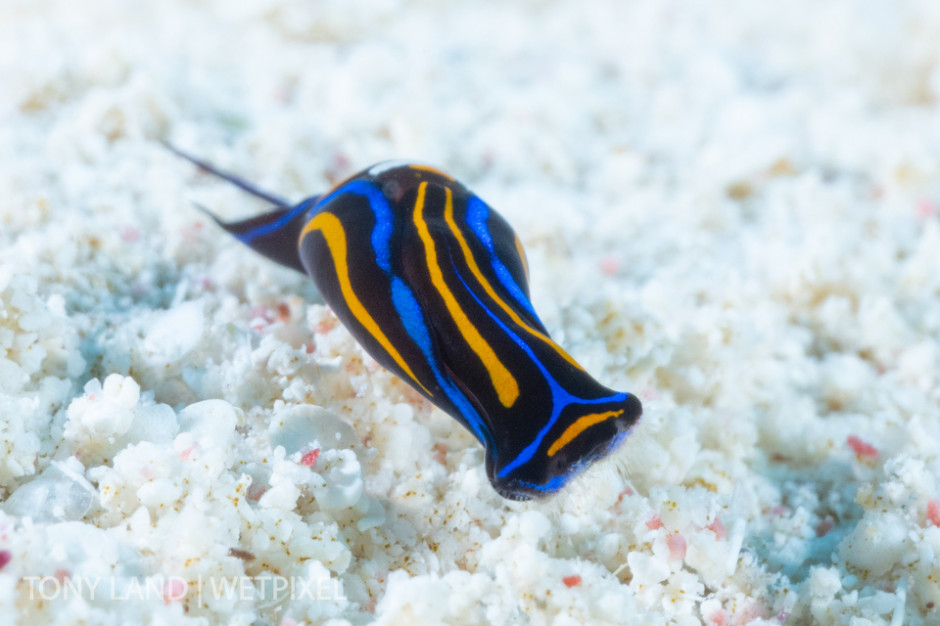 A swallowtail headshield slug (*Chelidonura hirundinina*), off the mini wall on Divetech's house reef in West Bay, Grand Cayman.