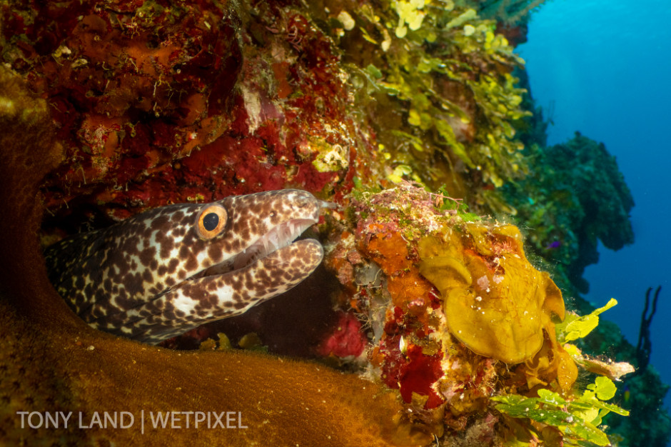 A spotted moray eel (*Gymnothorax moringa*), off Bloody Bay Wall, Little Cayman.