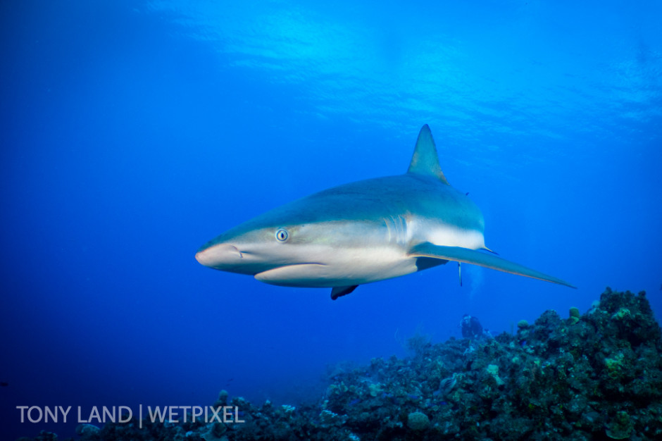Caribbean reef shark (*Carcharhinus perezi*) swooping past, Little Cayman