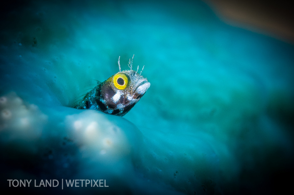 A spinyhead blenny (*Acanthemblemaria spinosa*)  awash in his blue sponge home, Divetech's house reef in West Bay, Grand Cayman.