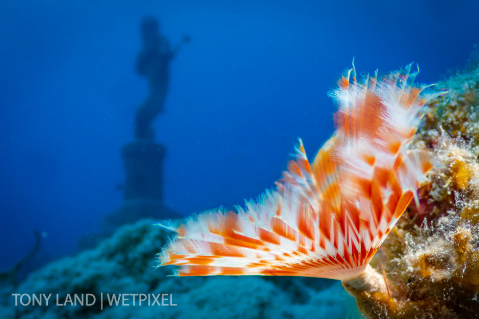 A shy feather duster (*Megalomma sp*.)and the Guardian of the Reef, Divetech house reef in West Bay, Grand Cayman