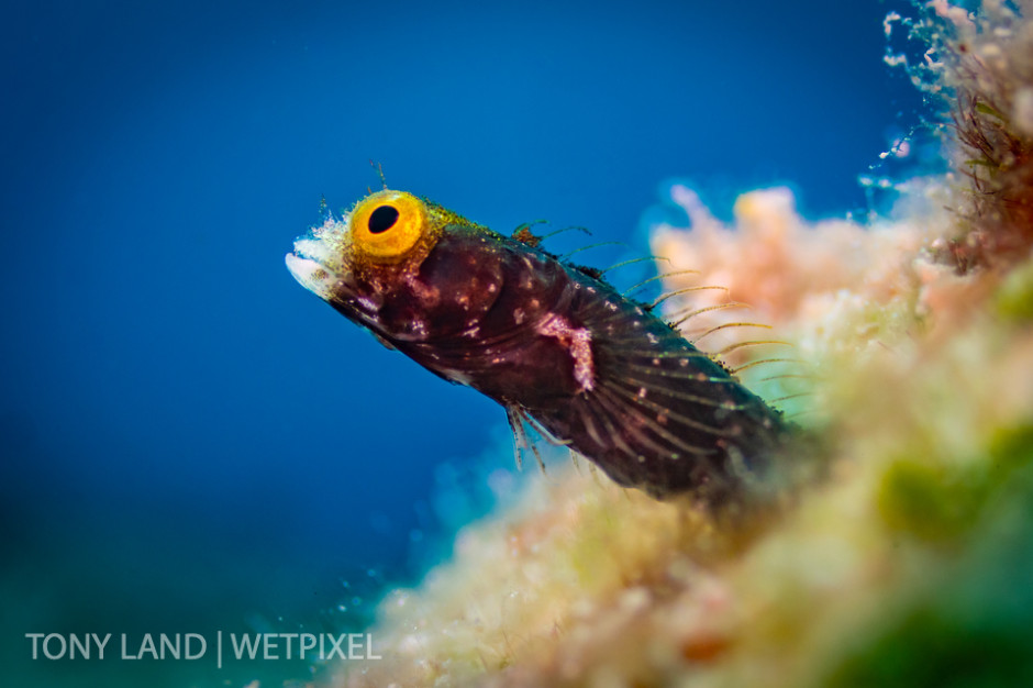 A spinyhead blenny (*Acanthemblemaria spinosa*) peeks out of his burrough on the Divetech house reef in West Bay, Grand Cayman.