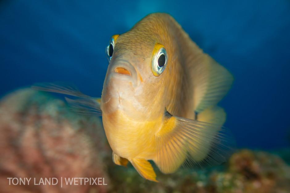 A longfin damselfish (*Stegastes diencaeus*) checks out his reflection in the camera, Princess Penny's Pinnacle, North Wall, Grand Cayman