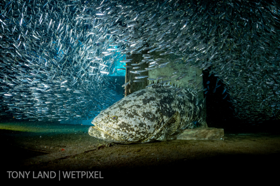 A goliath grouper (*Epinephelus itajara*) in a school of silversides, USS Kittiwake, West bay, Grand Cayman.