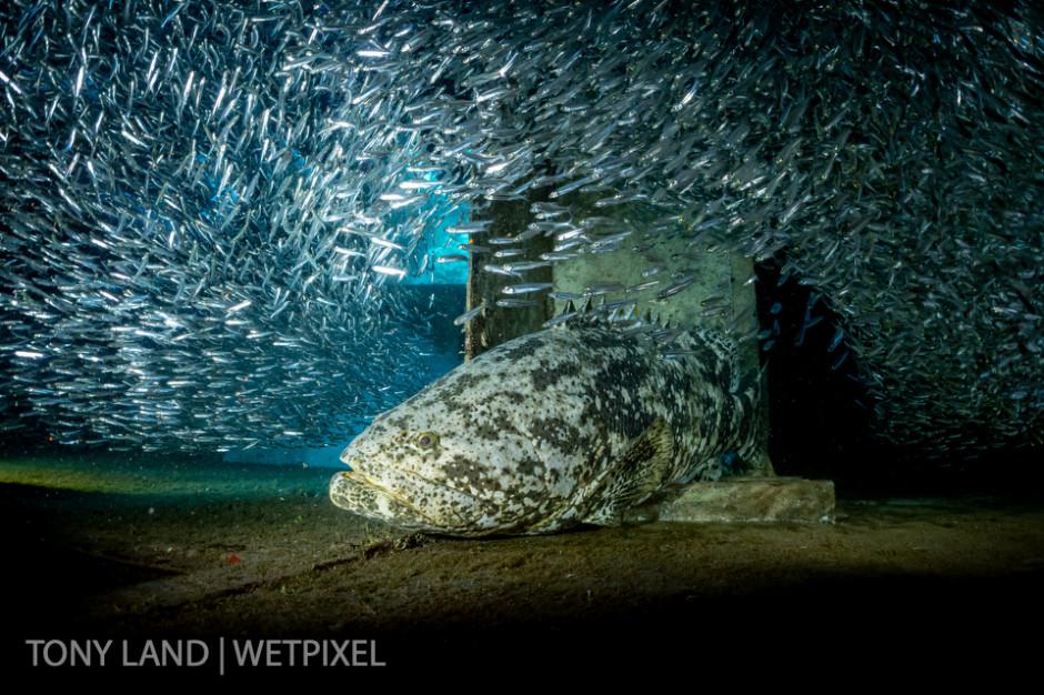 A goliath grouper (*Epinephelus itajara*) in a school of silversides, USS Kittiwake, West bay, Grand Cayman.