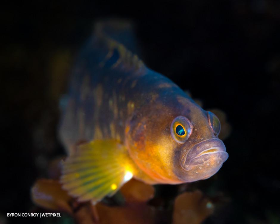 Butterfish (*Pholis gunnellus*)