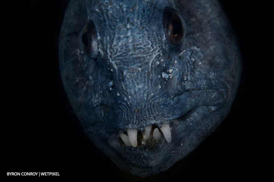 Wolf eel (*Anarrhichthys ocellatus*).