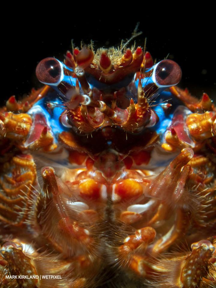 Short clawed squat lobster (*Galathea sp*.). Loch Fyne, Scotland.