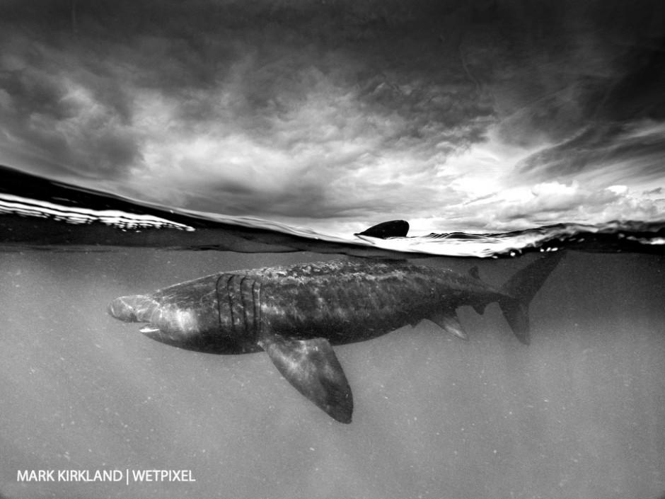 Basking shark (*Cetorinus maximus*). Isle of Coll, Scotland.