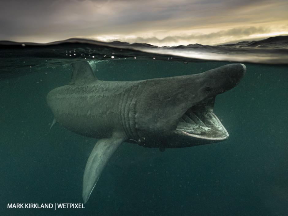 Basking shark (*Cetorinus maximus*). Gunna Sound, Scotland.