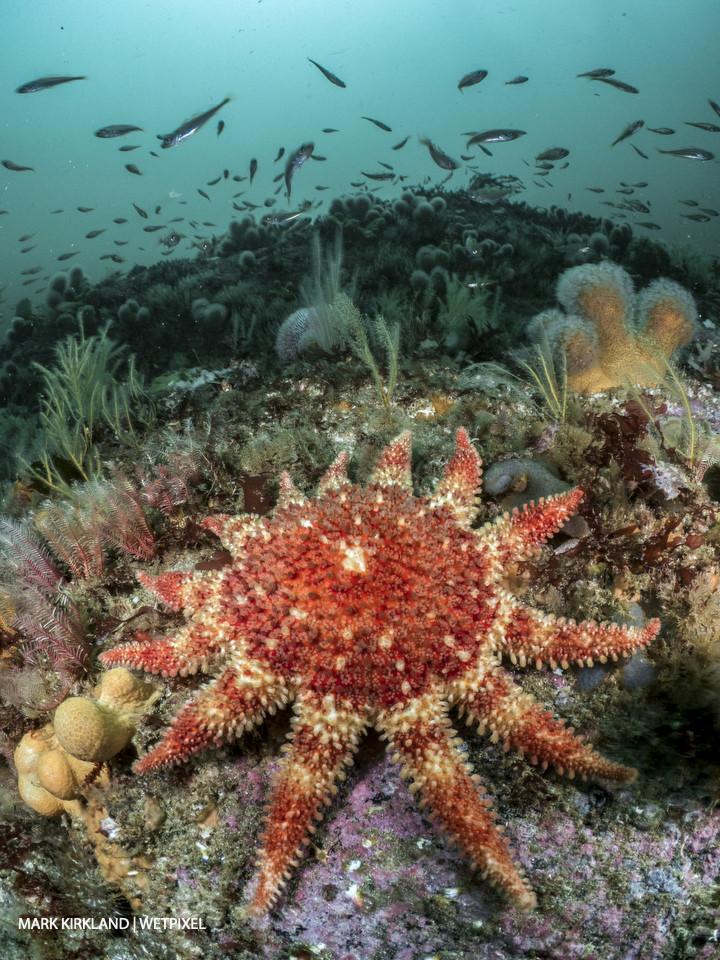 Common sunstar (*Crossaster papposus*). Strathay Point, Scotland.