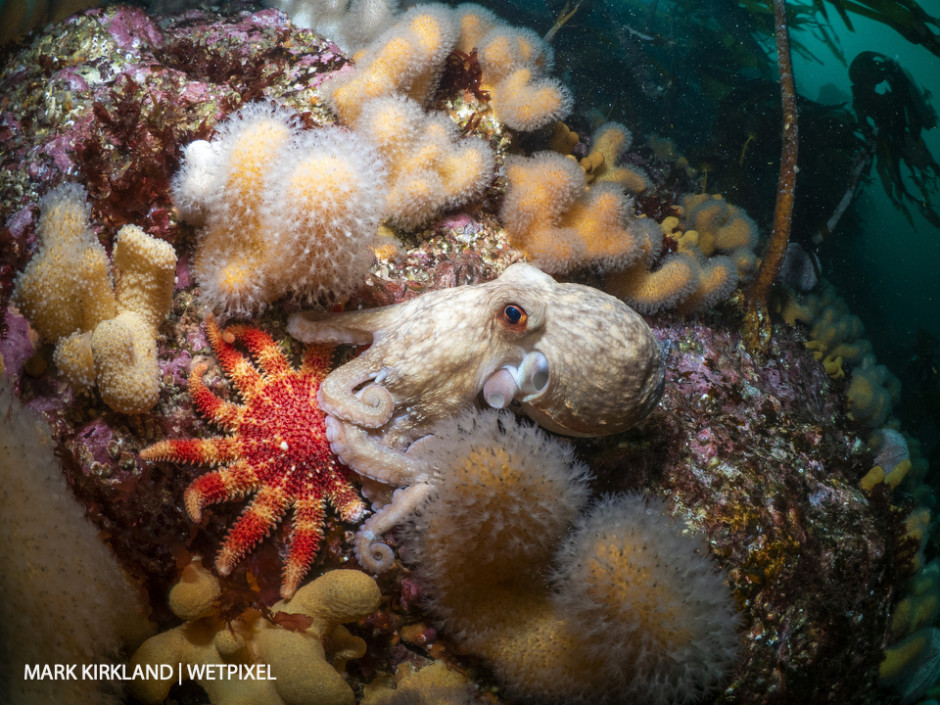 Curled octopus (*Eledone cirrhosa*). Sutherland, Scotland.