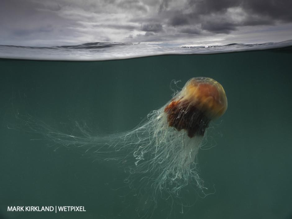 Lion's mane jellyfish (*Cyanea capillata*). Isle of Coll, Scotland.