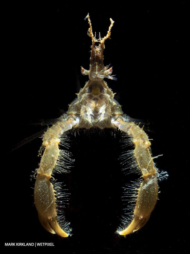 Long legged spider crab (*Macropodia sp*.). Loch Fyne, Scotland.