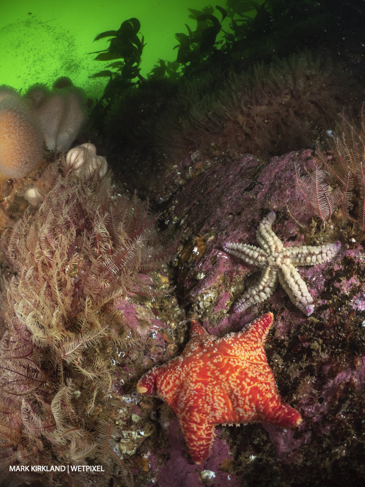 Red cushion star (*Poronia pulvillus*) and spiny starfish (*Marthasterias glastialis*). Kinlochbervie, Scotland.