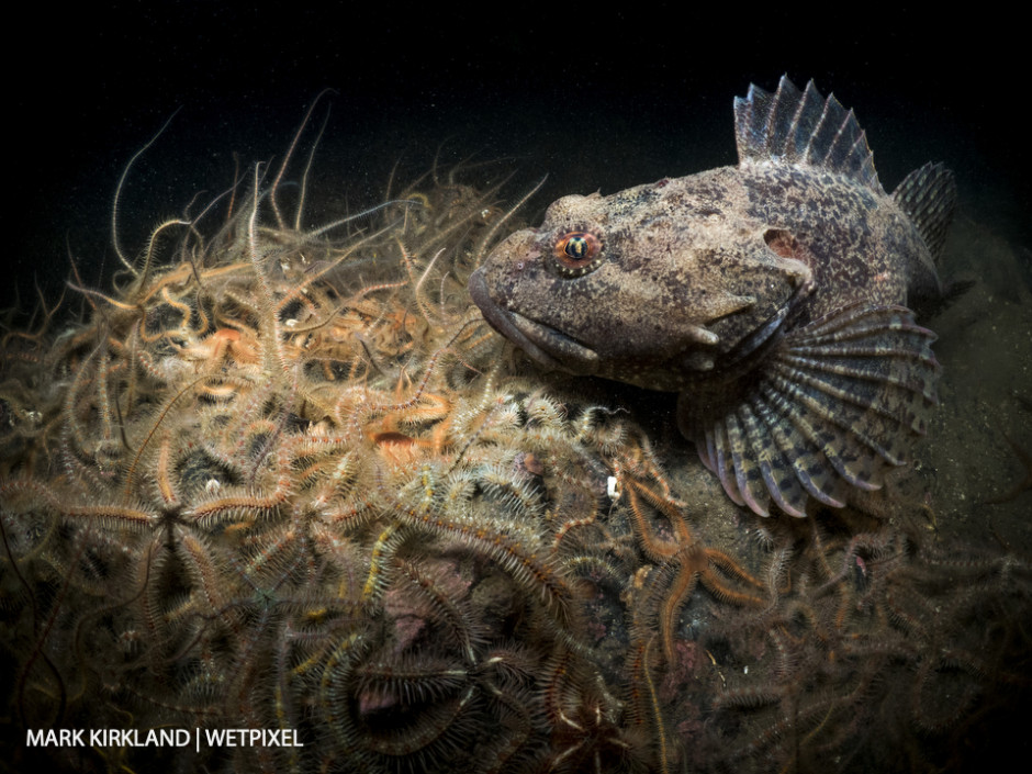 Short spined scorpionfish (*Myoxocaphalus scorpius*) and brittlestars (*Ophiothrix fragilis*). Loch Leven, Scotland