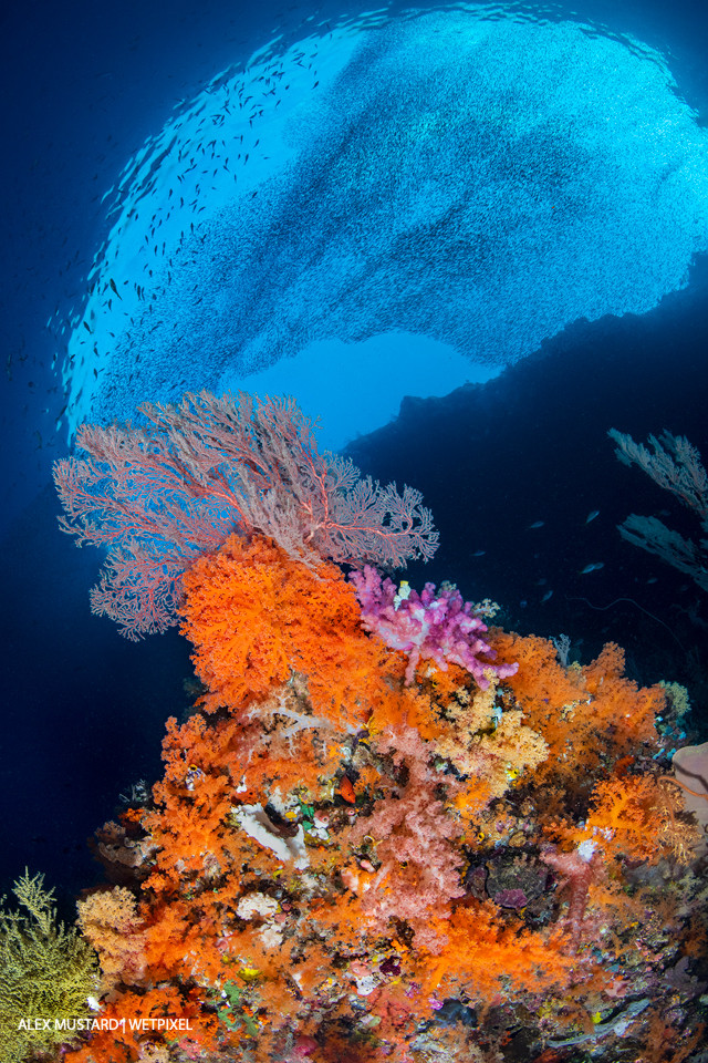Reef scene with orange soft corals (*Scleronephthya sp*.), pink and red soft corals (*Dendronephthya sp*.), and red sea fan (*Melithaea sp*.) with schooling silversides above.   Pelee Island, Misool.