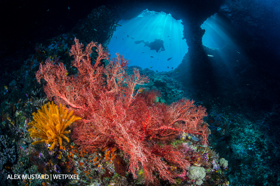 A diver explores Boo Windows, with a red seafan (*Melithaea sp*.) and yellow crinoid. oo Windows, Boo Islands, Misool.