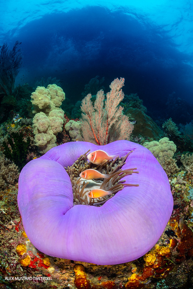 Three pink anemonefish (*Amphiprion perideraion*) living in a purple skirted magnificent sea anemone (*Heteractis magnifica*) on a coral reef, below a small island. Misool.