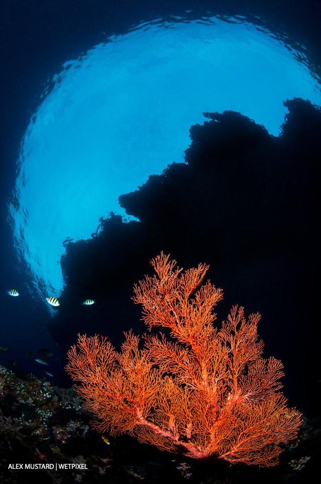 A red sea fan (*Melithaea sp*.) growing beneath the overhang of an island. Andiamo, Daram Islands, Misool.
