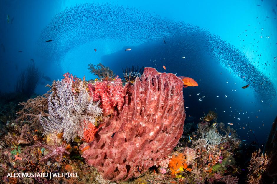 A reef scene with a  giant barrel sponge (*Xestospongia testudinaria*) coral grouper (*Cephalopholis miniata*) beneath schooling silversides (*Atherinidae*). Pelee Islands, Misool.