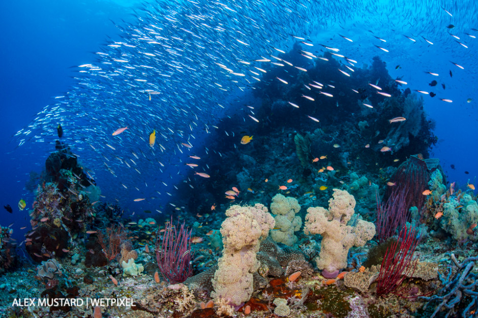 Schooling fish throng above a coral reef. Four Kings, Misool.