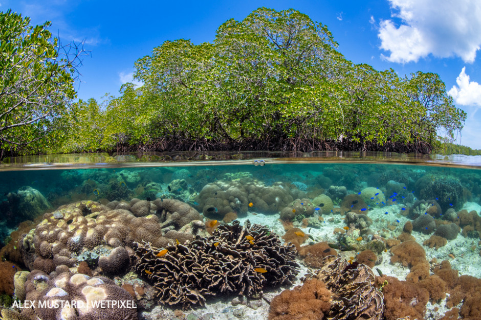 A split level photo of mangrove scenery, with hard corals (including *Goniopora sp*.; *Heliopora sp*.; *Porites sp*.) growing below mangrove trees (red mangrove tree: *Rhizophora mangle*). Nampale Islands, Misool.