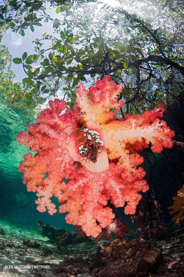 Red soft corals (*Dendronephthya sp*.) grow attached to the root of a mangrove tree, beneath the canopy of a mangrove forest. Nampele Islands, Misool.