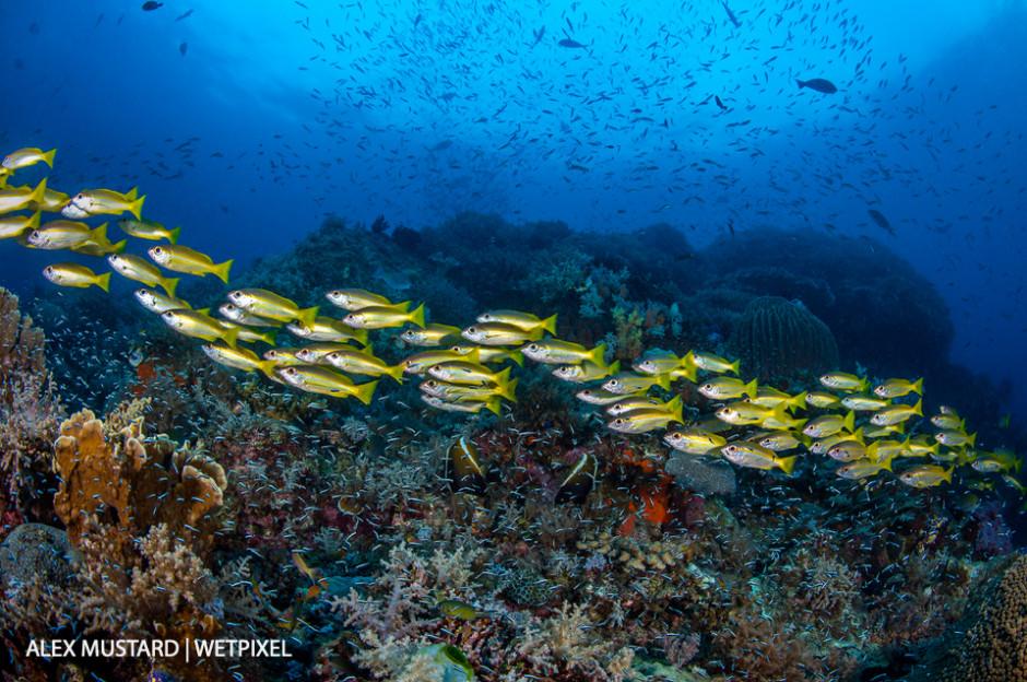 A streaming school of bigeye snappers (*Lutjanus lutjanus*) swims across a reef filled with fish. Andiamo, Daram Islands, Misool.