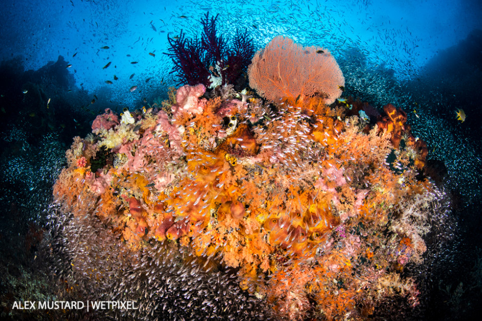 A colorful coral reef, a school of glassfish (cardinalfish: *Apogon spp*.) surround a coral head with sponges, soft corals, sea fans, and sea squirts. Misool, Raja Ampat.