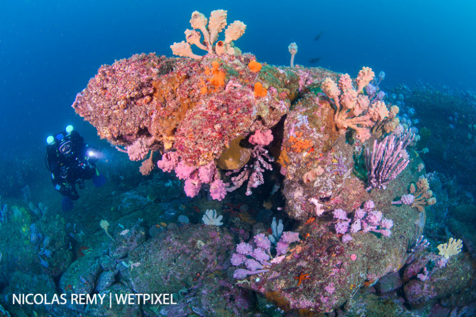 Various sponges species, such as sea tulips (*Pyura spinifera*) color Sydney's temperate reefs. Old Man's Hat, Manly (North Sydney).