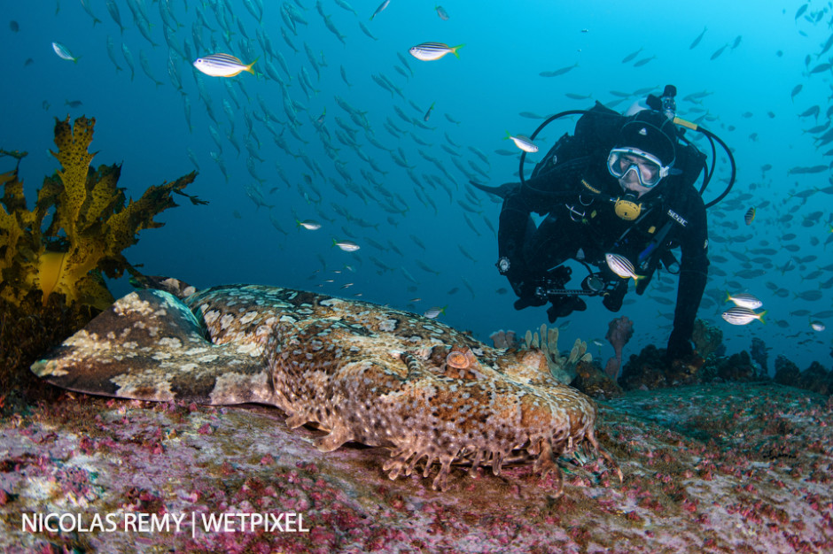 My buddy observing a gulf wobbegong (*Orectolobus halei*), which is a species of carpet shark. Cabbage Tree Bay, Manly (North Sydney).