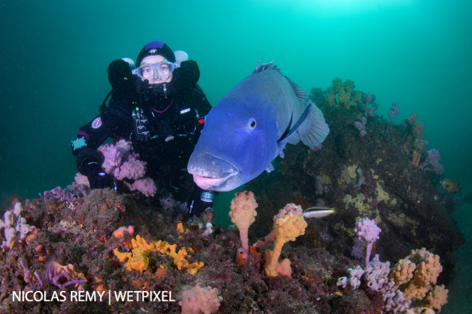 The friendly blue grouper (*Achoerodus viridis*) often approaches divers. It is the fish emblem of New South Wales, protected since 1998. Bare Island, La Perouse.