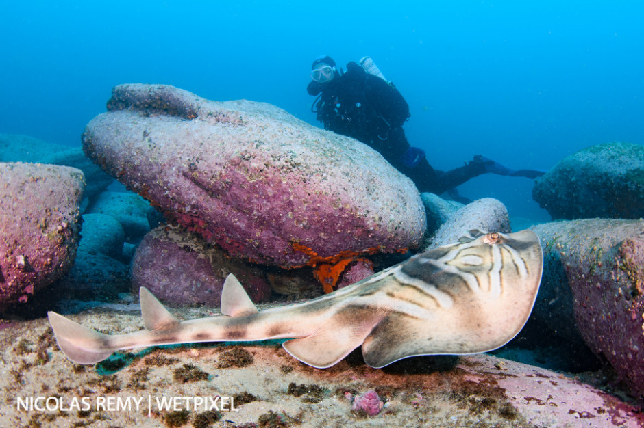An eastern fiddler ray (*Trygonorrhina fasciata*), also called banjo ray. Cabbage Tree Bay, Manly (North Sydney).
