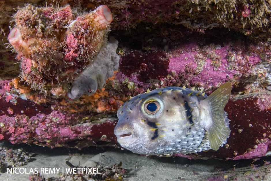 A threebar porcupinefish (*Dicotylichthys punctulatus*) hides under a ledge. Cabbage Tree Bay, Manly (North Sydney).