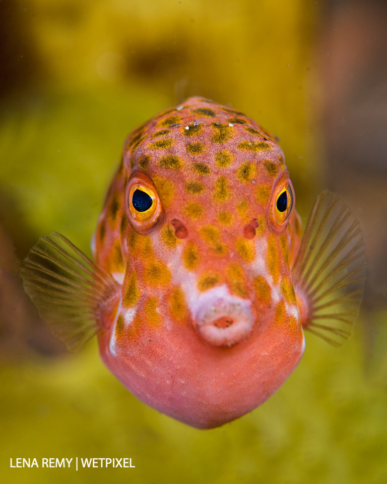Another endemic species to Australia: the eastern smooth boxfish (*Anoplocapros inermis*). Bare Island, La Perouse.