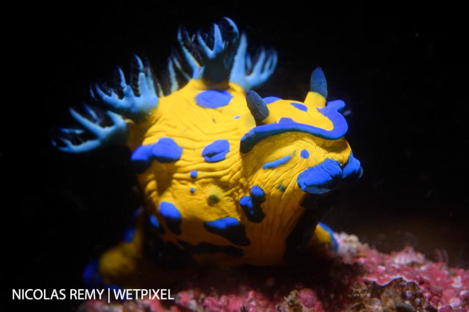 Verco's nudibranch (*Tambja verconis*), Bare Island, La Perouse.