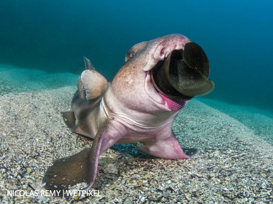 Crested-horn sharks (*Heterodontus galeatus*) sometimes feed on eggs from Port-Jackson sharks (*Heterodontus portus jacksoni*), a similar-looking yet larger species of bullhead shark. Cabbage Tree Bay, Manly (North Sydney).