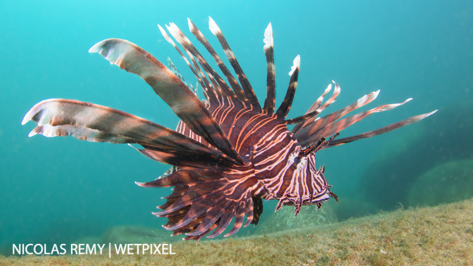 Some tropical species like this common lionfish (*Pterois volitans*) travel in larvae stage via the East Australian Current, and make it to Sydney. Bare Island, La Perouse.