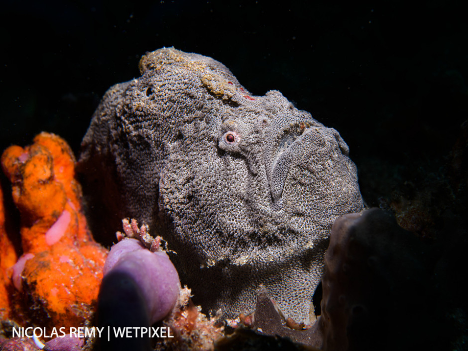 The red-fingered anglerfish (*Porophryne erythrodactylus*) is a species of frogfish, only observed in Sydney and up to 200km south of Sydney. The Monuments, Kurnell (South Sydney).