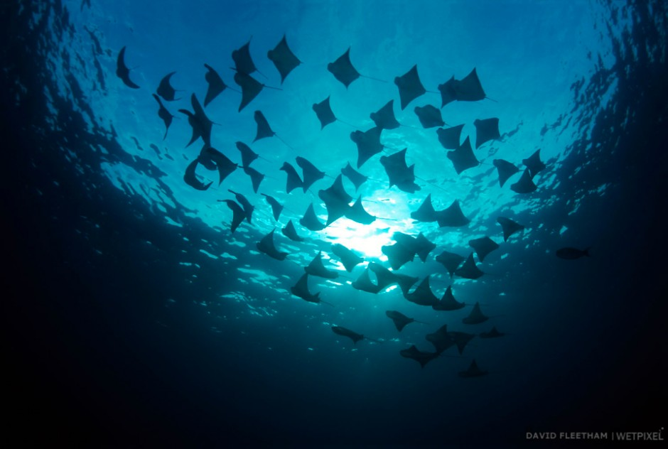 This school of cownose rays, Rhinoptera steindachneri, obliterated the sun as they passed overhead. Galapagos Islands.