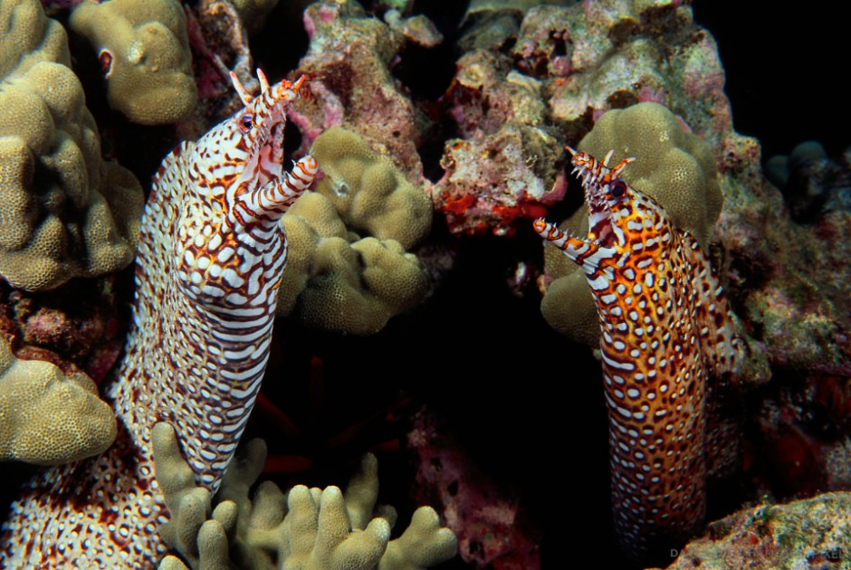 This pair of dragon moray eels [Muraena pardalis] are one of the more exotic of the moray family and highly sought in the aquarium trade. Hawaii.