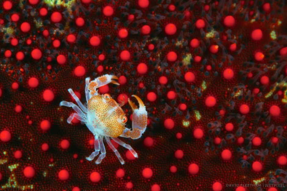 This juvinile guard crab [Trapezia sp] is pictured on a cushion starfish [Culcita novaeguineae]. Hawaii.