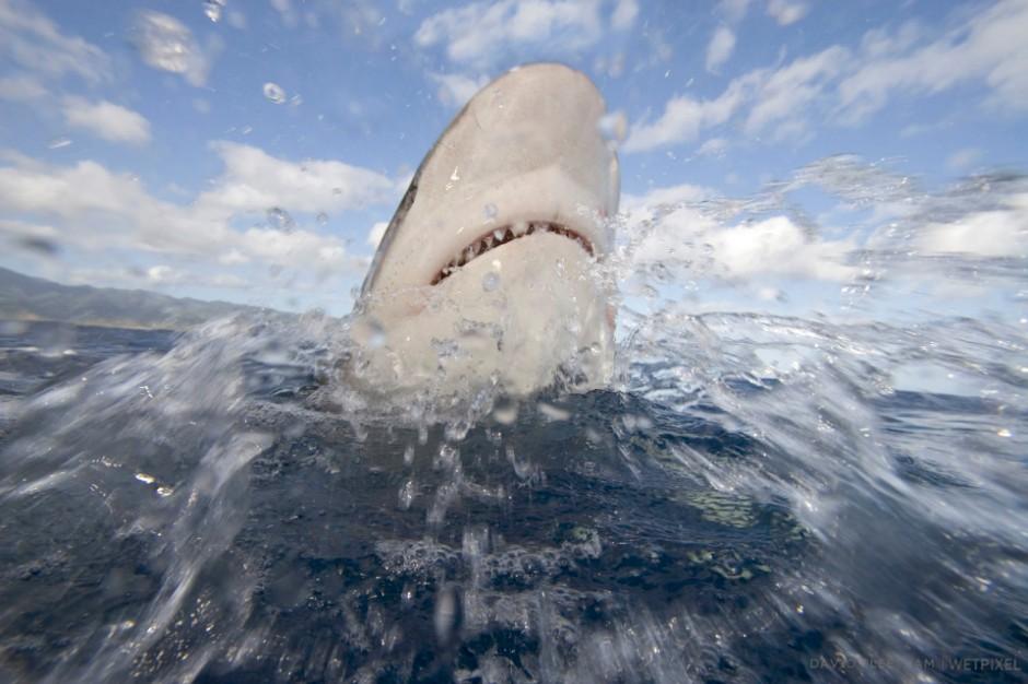 Galapagos shark, Carcharhinus galapagensis. Hawaii.